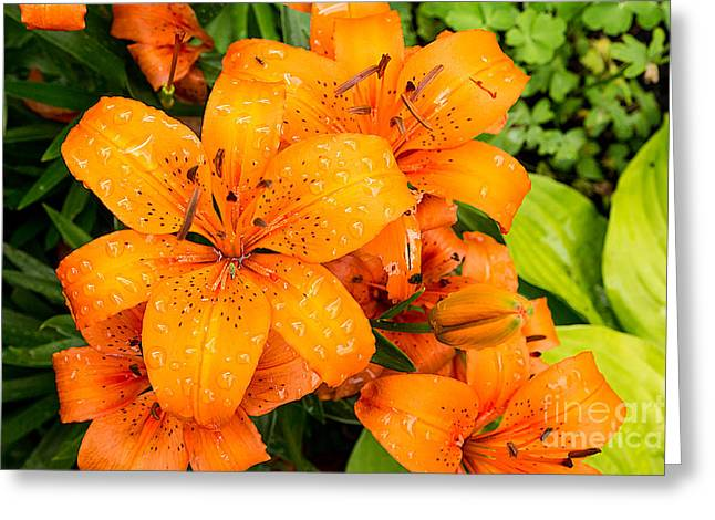 Tiger Lily After Morning Rain Greeting Card