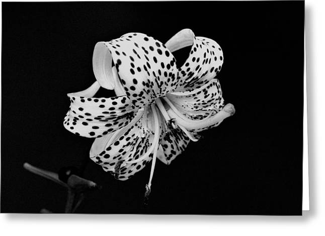 Tiger Lily In Black And White Greeting Card by Sandy Keeton