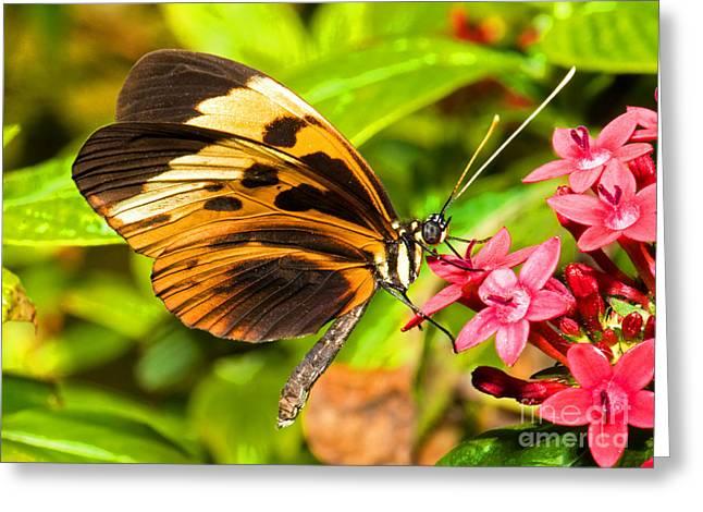 Tiger Mimic Butterfly Greeting Card by Millard H. Sharp