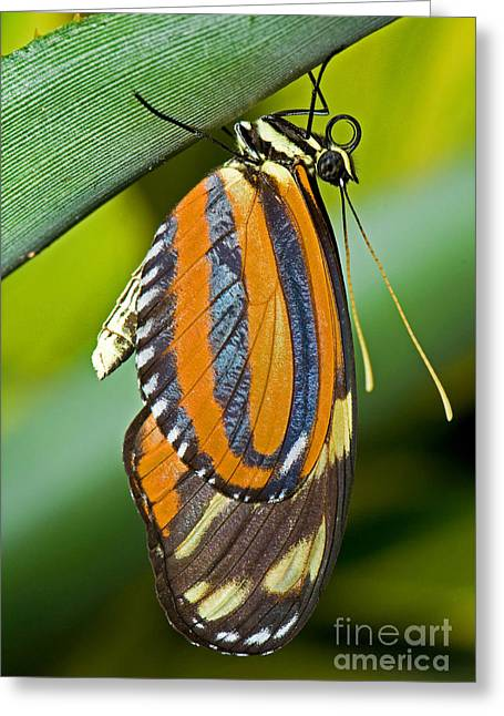 Tiger Mimic Queen Butterfly Greeting Card