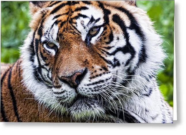 Tiger On Grass Greeting Card