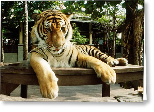 Tiger Panthera Tigris In A Tiger Greeting Card by Panoramic Images