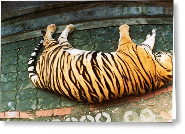 Tiger Panthera Tigris Sleeping Greeting Card by Panoramic Images
