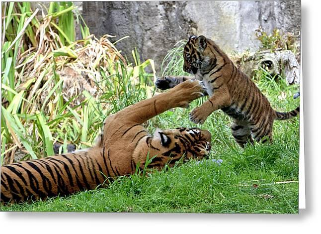 Tiger Play Greeting Card