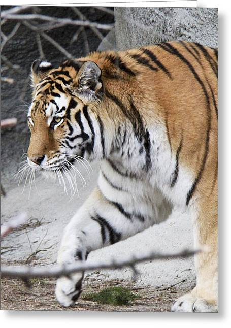 Tiger Prowls Greeting Card by Michael Petrick