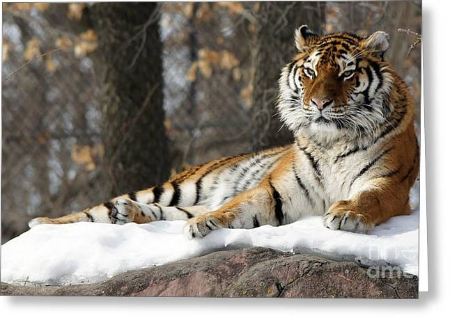 Tiger Relaxing Snow Cover Rock Greeting Card