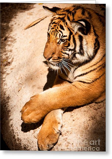 Greeting Card featuring the photograph Tiger Resting by John Wadleigh