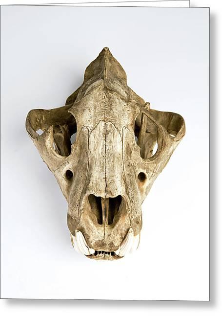Tiger Skull Greeting Card