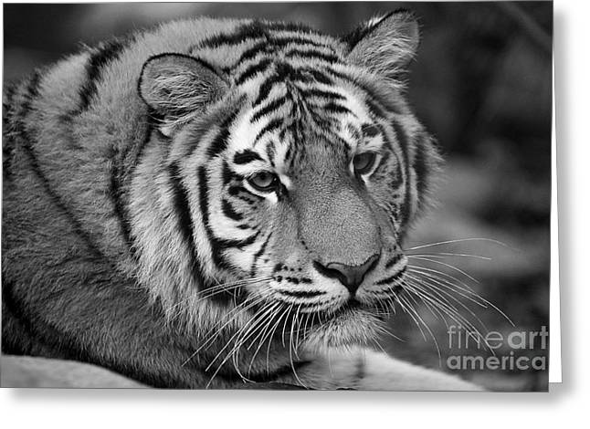 Tiger Stare Greeting Card