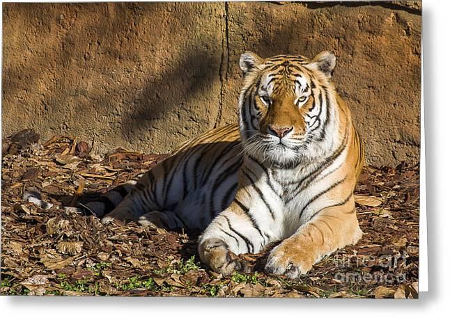 Tiger Greeting Card by Steven Ralser