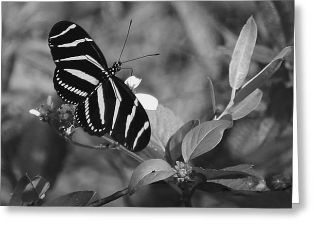 Tiger Stripe Butterfly Greeting Card