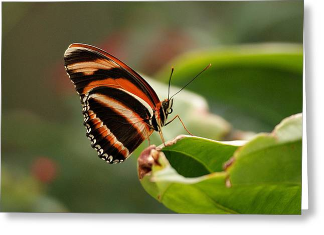 Tiger Striped Butterfly Greeting Card by Sandy Keeton