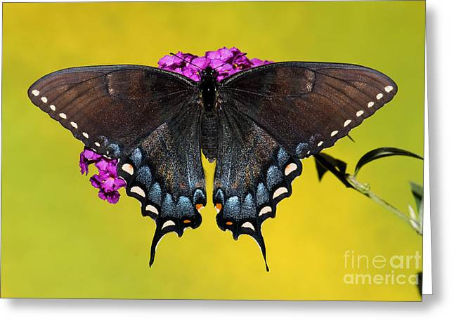 Tiger Swallowtail Butterfly, Dark Phase Greeting Card by Millard H. Sharp