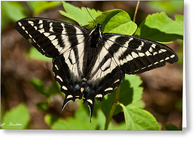 Greeting Card featuring the photograph Tiger Swallowtail Butterfly by Jeff Goulden