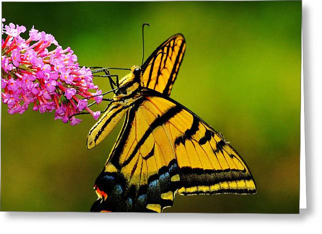Tiger Swallowtail Butterfly Greeting Card by Karen Slagle