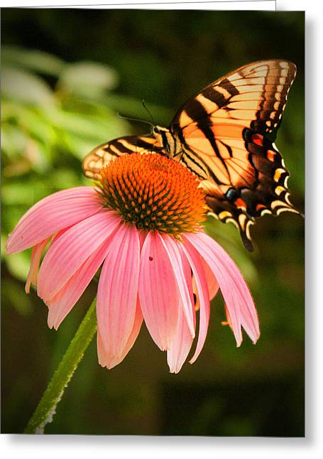 Tiger Swallowtail Feeding Greeting Card