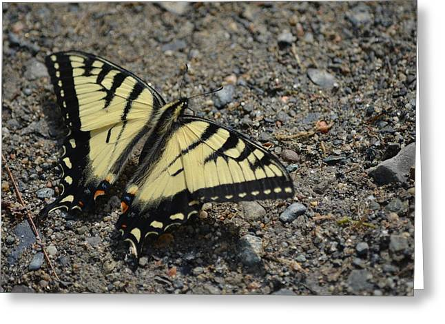 Greeting Card featuring the photograph Tiger Swallowtail by James Petersen