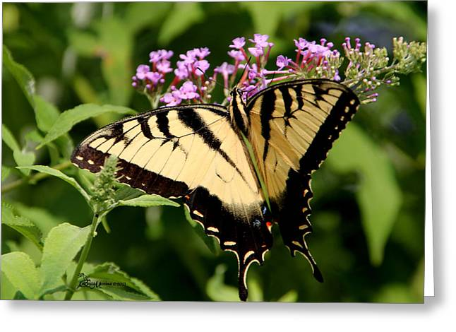 Tiger Swallowtail On Butterfly Bush 1 - Featured In The Wildlife And Nature Groups Greeting Card by EricaMaxine  Price