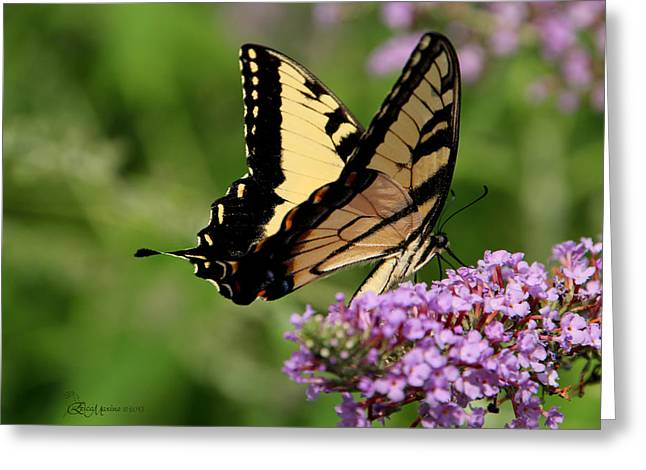 Tiger Swallowtail On Butterfly Bush 2 - Featured In 'comfortable Art' And 'flower W Co' Macro Groups Greeting Card by EricaMaxine  Price
