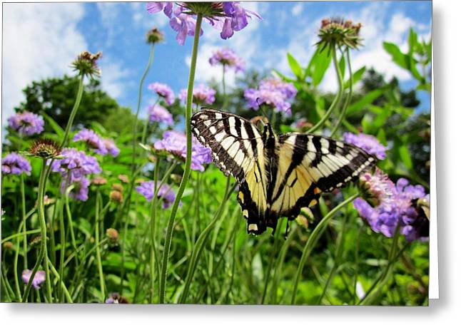 Tiger Swallowtail On Pincushion Flowers Greeting Card