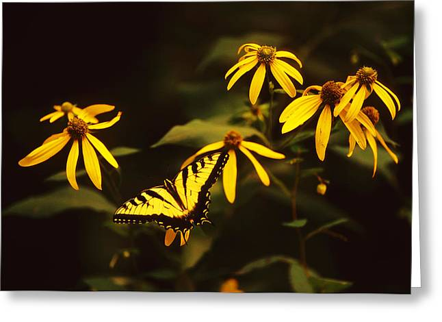 Tiger Swallowtail Perch  Greeting Card