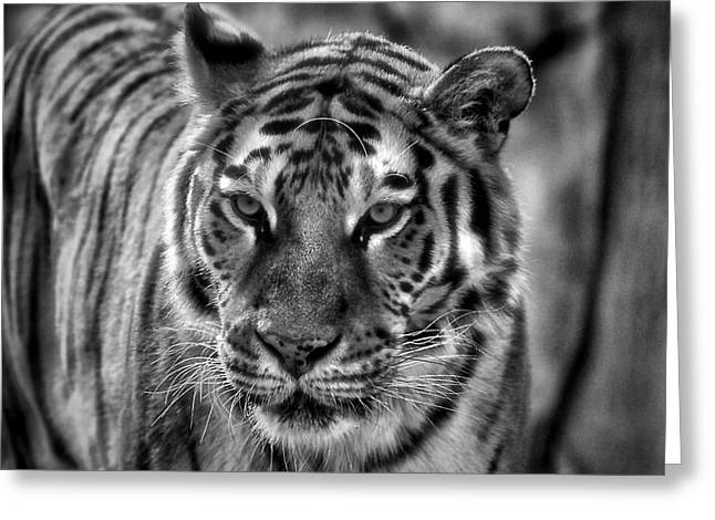 Tiger Tiger Monochrome Greeting Card
