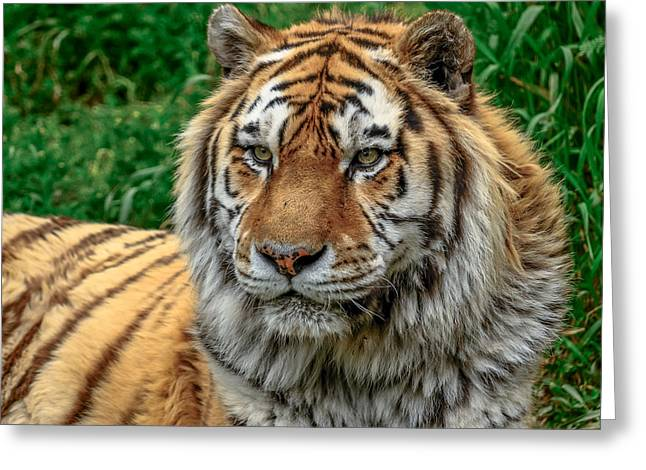 Tiger Tiger Greeting Card by Yeates Photography
