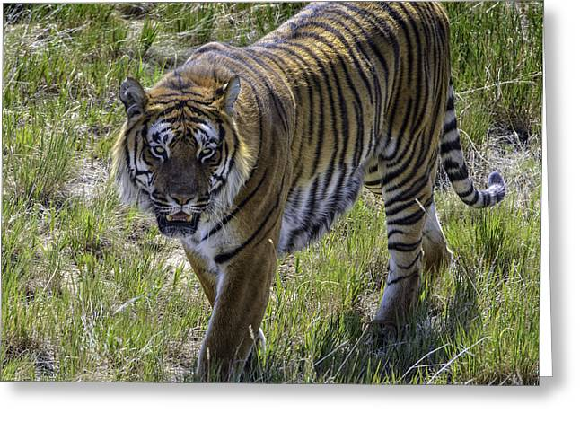 Tiger Greeting Card by Tom Wilbert