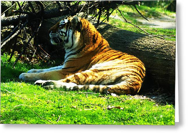 Greeting Card featuring the photograph Tiger Too by B Wayne Mullins