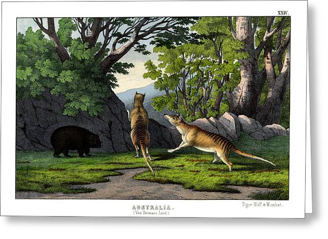 Tiger Wolf And Wombat Greeting Card by Splendid Art Prints