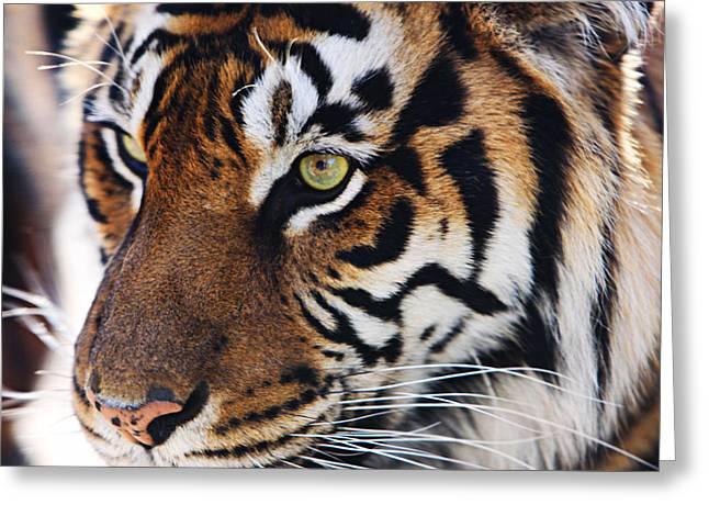 Tigress Three Greeting Card by Kandy Hurley