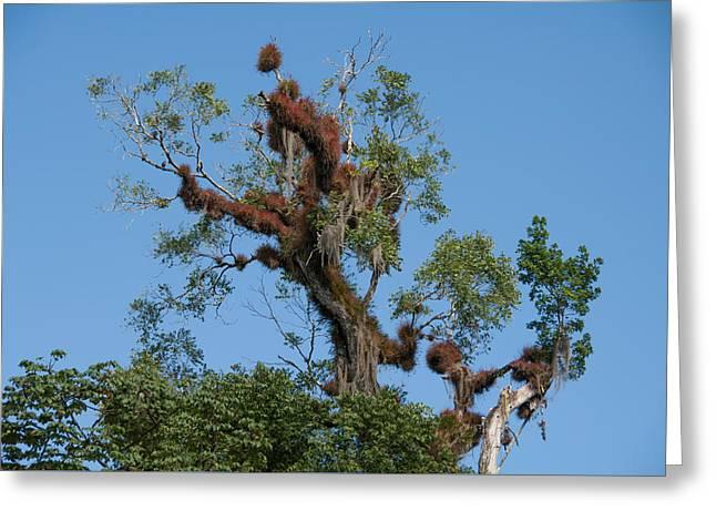 Tikal Furry Tree Greeting Card