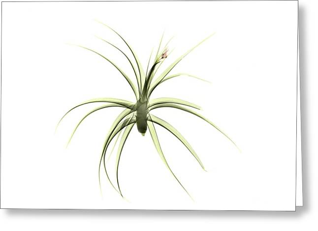 Tillandsia Plant Greeting Card by Albert Koetsier X-ray