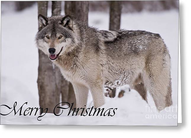 Timber Wolf Christmas Card English 3 Greeting Card