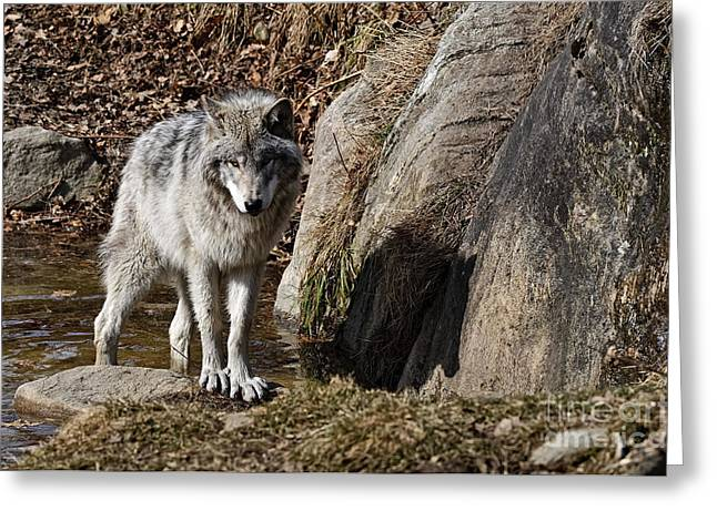 Greeting Card featuring the photograph Timber Wolf In Pond by Wolves Only