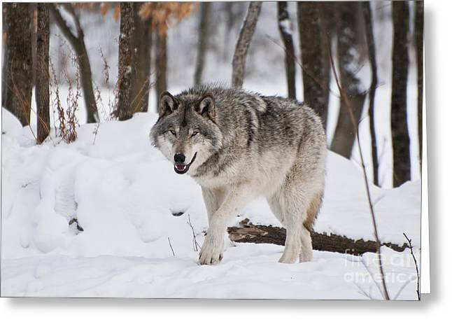 Greeting Card featuring the photograph Timber Wolf In Winter Forest by Wolves Only
