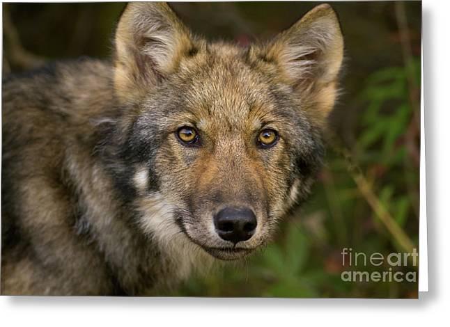 Timber Wolf In Denali Greeting Card by Yva Momatiuk John Eastcott