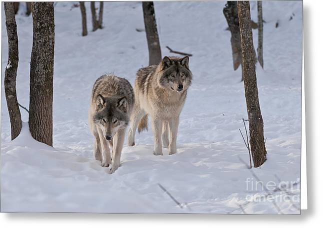 Greeting Card featuring the photograph Timber Wolf Pair  by Wolves Only