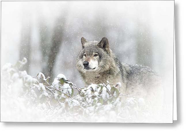Timber Wolf Pictures 279 Greeting Card by Wolves Only