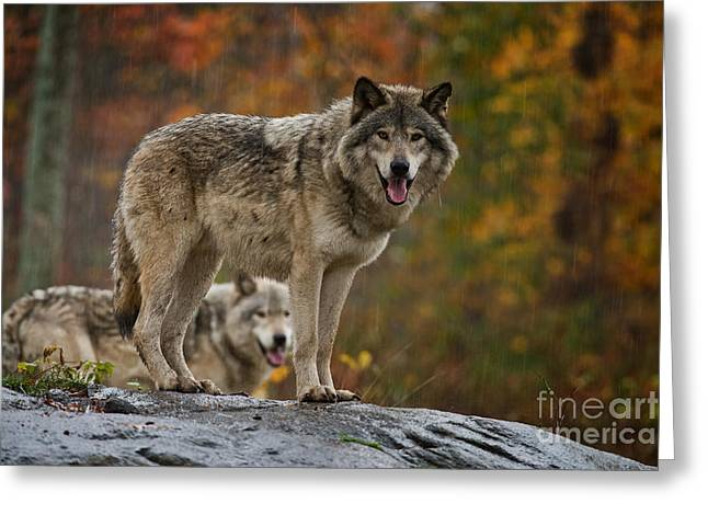 Timber Wolf Pictures 410 Greeting Card