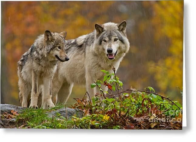 Timber Wolf Pictures 411 Greeting Card