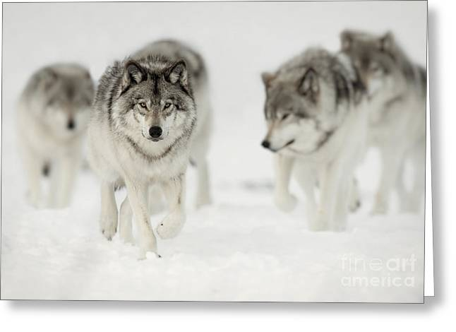 Timber Wolf Pictures 65 Greeting Card