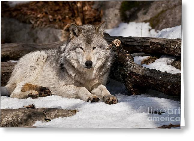 Timber Wolf Pictures 776 Greeting Card by World Wildlife Photography