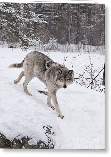 Greeting Card featuring the photograph Timber Wolf  by Wolves Only