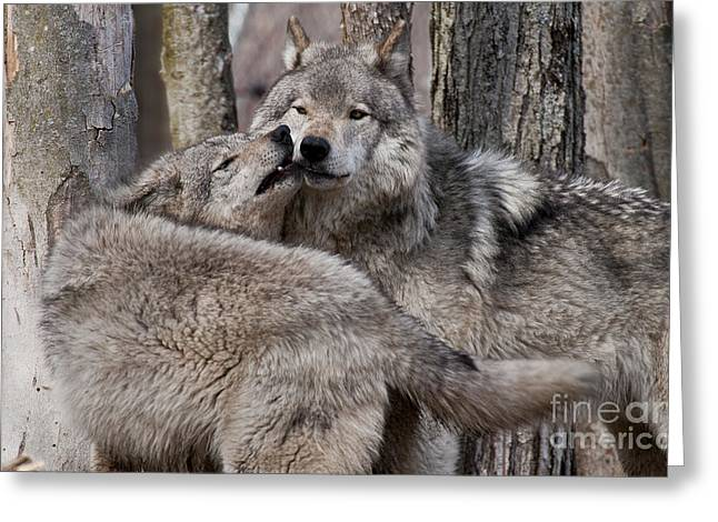 Greeting Card featuring the photograph Timber Wolves Playing by Wolves Only