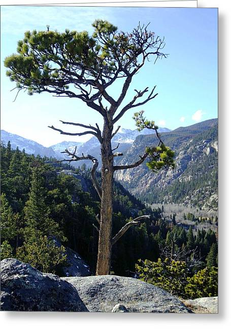 Timberline Tree Greeting Card by Stephen Schaps