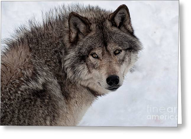 Greeting Card featuring the photograph Timberwolf At Rest by Bianca Nadeau