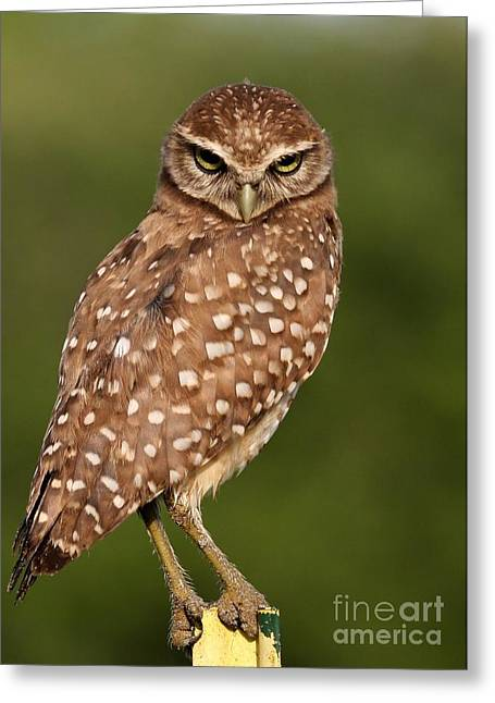 Tiny Burrowing Owl Greeting Card by Sabrina L Ryan