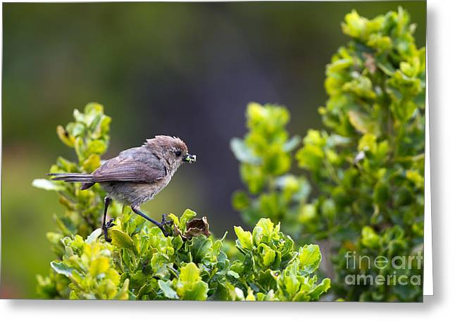 Bushtit Bags A Bug Greeting Card