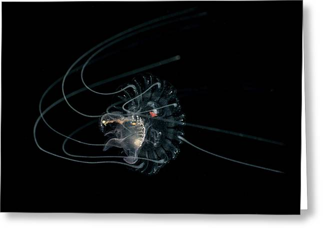 Tiny Curled-up Jellyfish Against Dark Greeting Card by Mathieu Meur